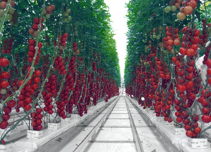 西红柿照片.jpg