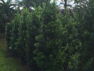 Podocarpus Hedge,