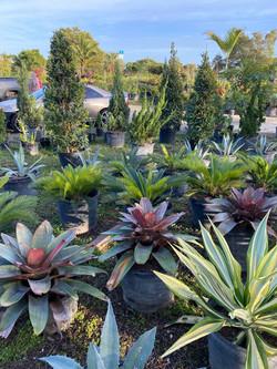 Bromeliads , Agave