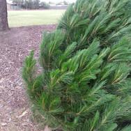 Xmas Tree Sale