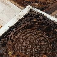 Native Bee Hive Split 2017