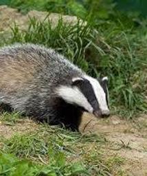 badger.jfif