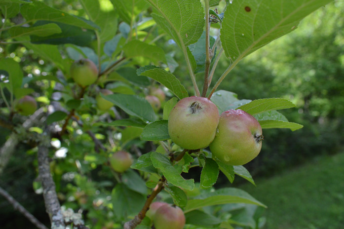 Budding heirloom apples