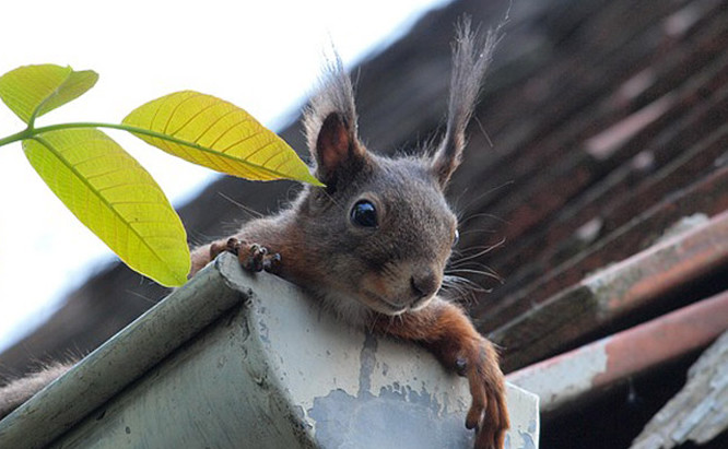 A squirrel on the roof of a house