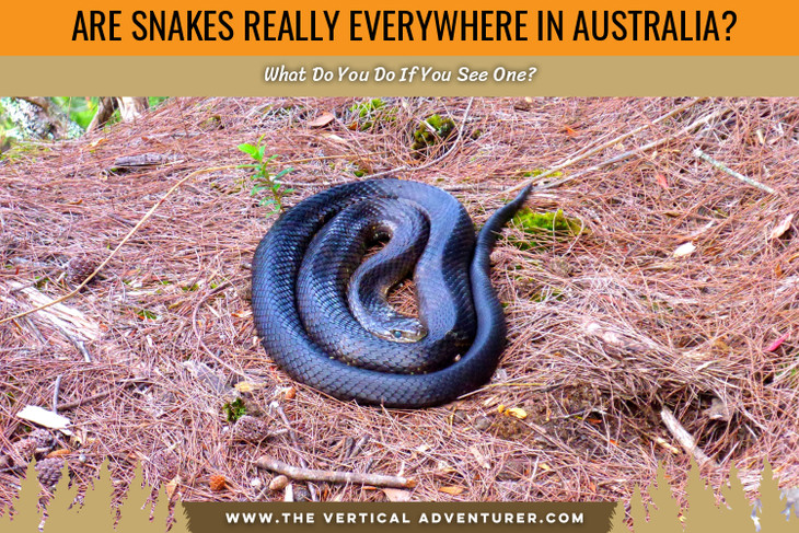 Are Snakes Really Everywhere in Australia? What Do You Do If You See One?