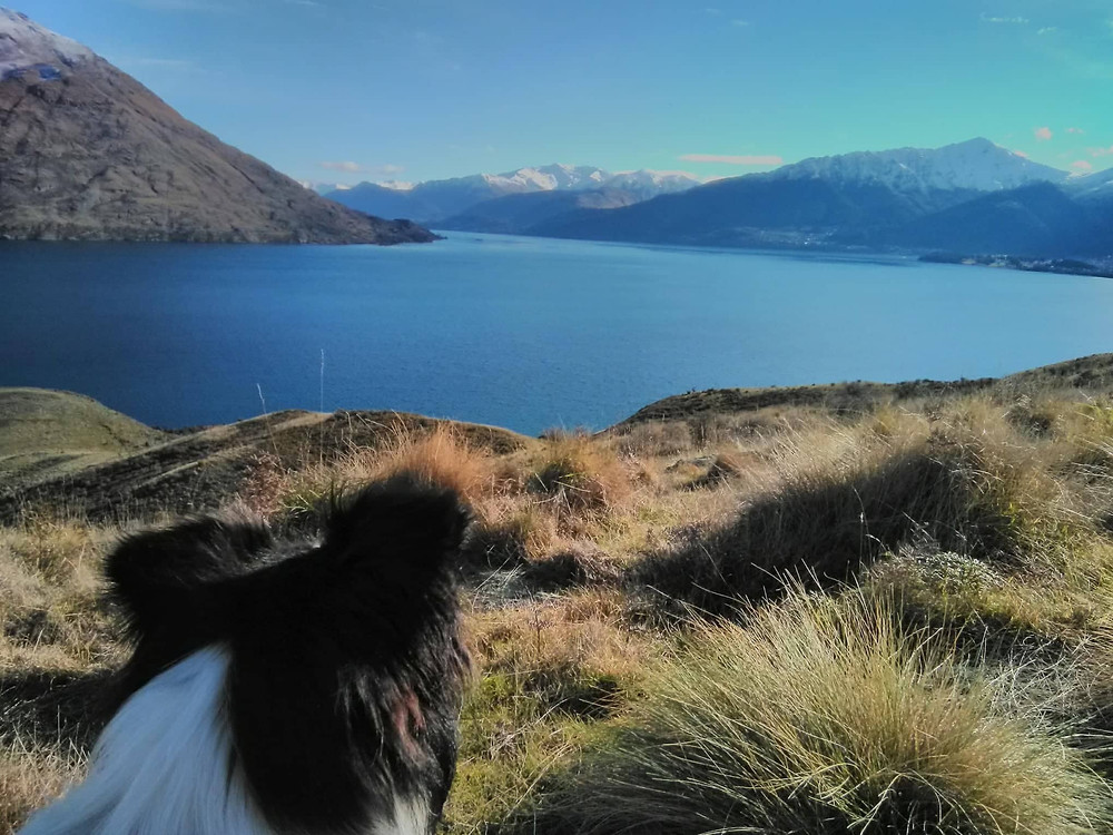 Free Things to Do in Queenstown- Dog Walking