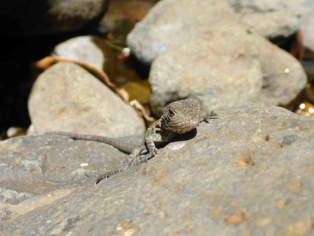 Lizard on rock Lamington National Park