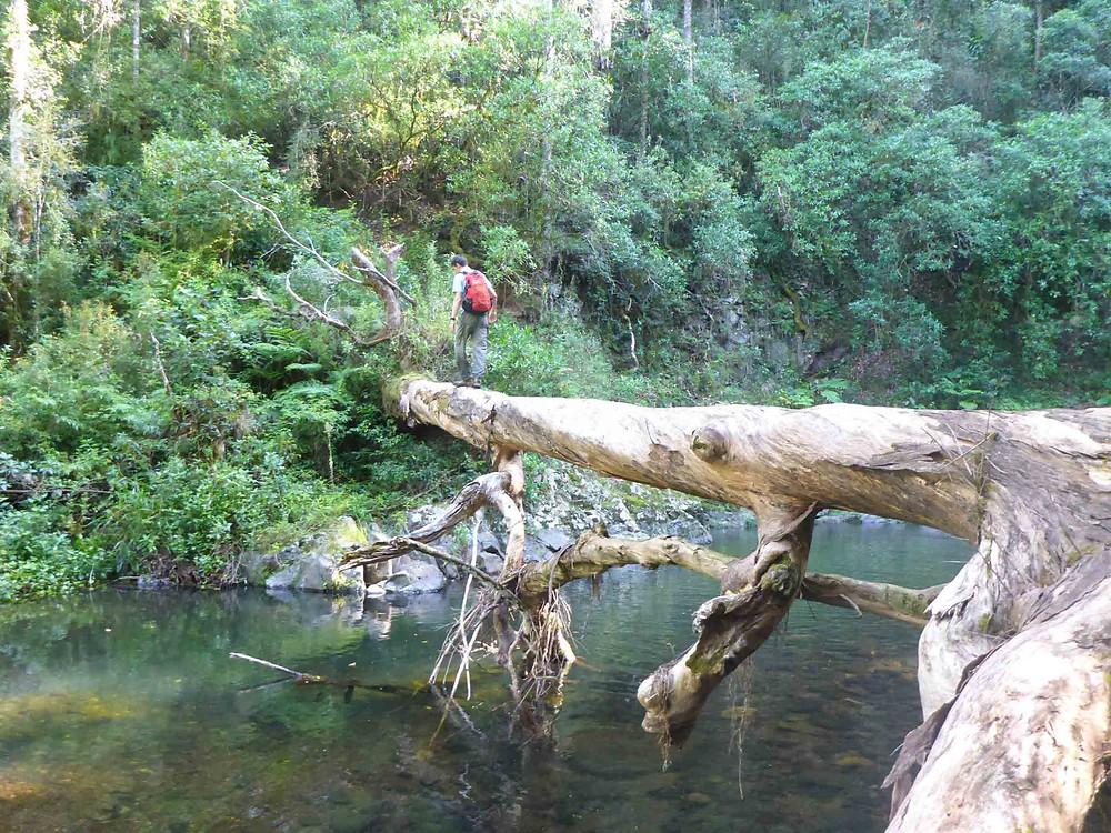 crossing fallen tree Lamington National Park
