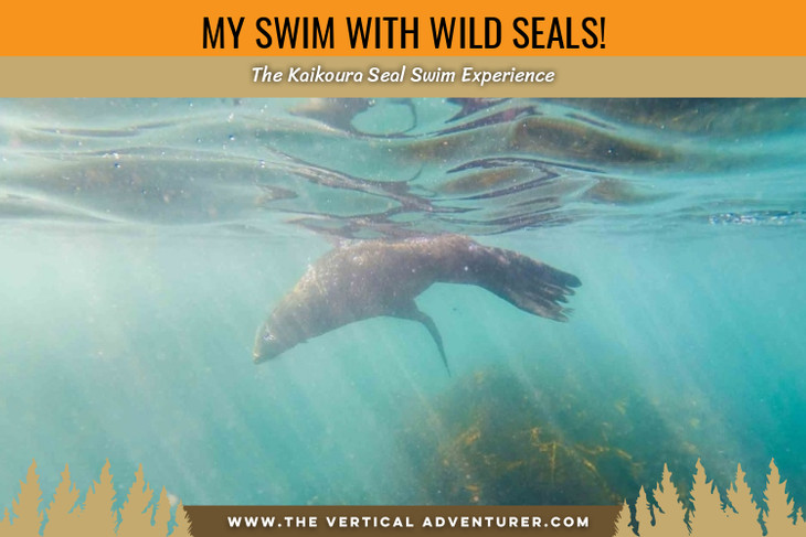 My Swim With Wild Seals! The Kaikoura Seal Swim Experience.