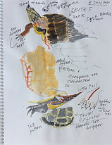 Painted Turtle Sketches by Josie Merck