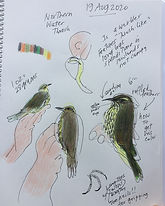 Waterthrush sketches by Josie Merck