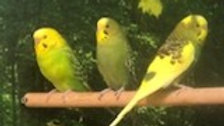 LemonDrop & Lacie - Female parakeets
