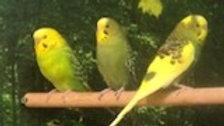 LemonDrop & Lacie - Female parakeets