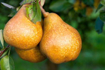 Pear: The Peace-Bearing Fruit