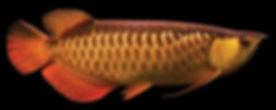 Red-Tail-Gold-Arowana.jpg