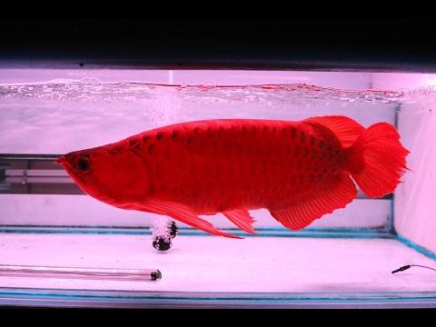 Chili Red 5 -15''