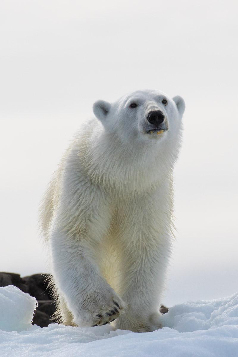 Polar_bear_3V2A2537