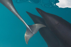 Northern_Right_Whale_Dolphins