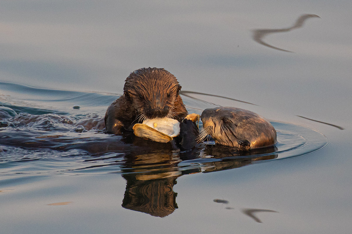 Otter_mom_pup_clam_3V2A1254