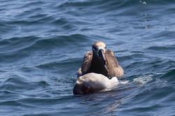 Albatross_mola_mola_3V2A5285