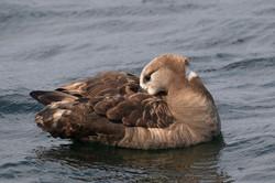Black_footed_albatross_3V2A7205