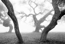 OakTrees2