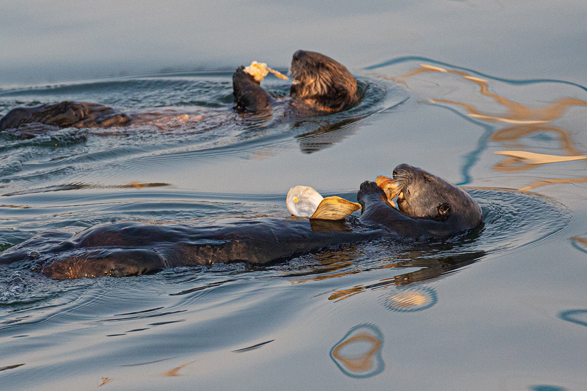 Otter_mom_pup_clam_3V2A1216
