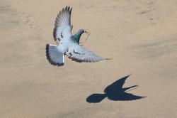 Pigeon_seaweed_3V2A9543