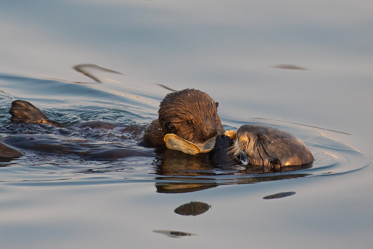 Otter_mom_pup_clam_3V2A1256