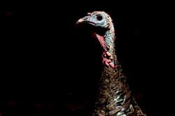 Turkey_hen_3V2A6200