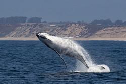 Breaching_white_whale_135A4353