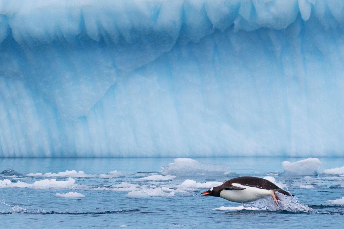 Penguin_porpoise_3V2A7573