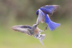 Western_bluebirds_3V2A0496-Edit