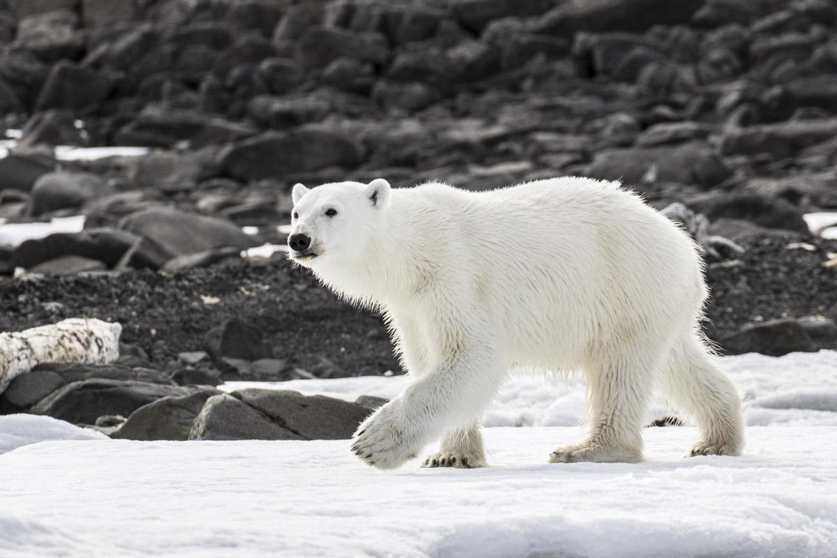 Polar_bear_3V2A2498