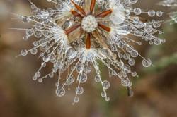 Dandelion_raindrops_3V2A8882