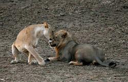 Lions_mating_ritual_7466