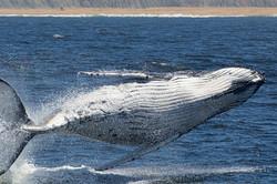 Breaching_white_whale_135A4415