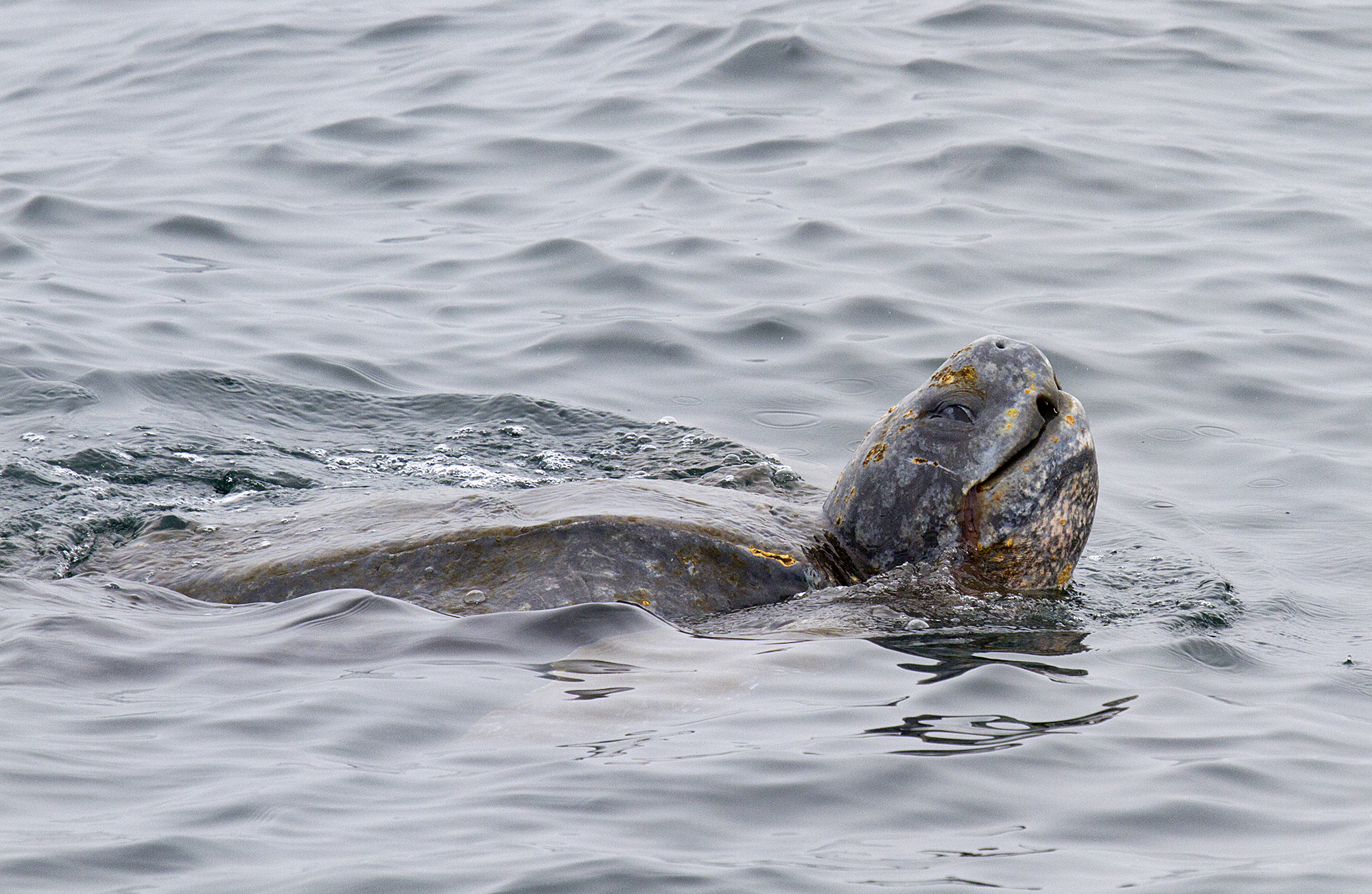 Leatherback_turtle_MG_8834crop