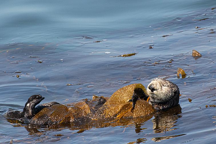 Sea_otter_kelp_3V2A8994