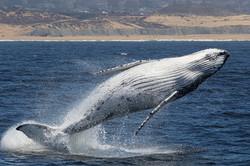 Breaching_white_whale_135A4412