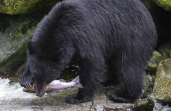 Black_bear_salmon_3V2A1451