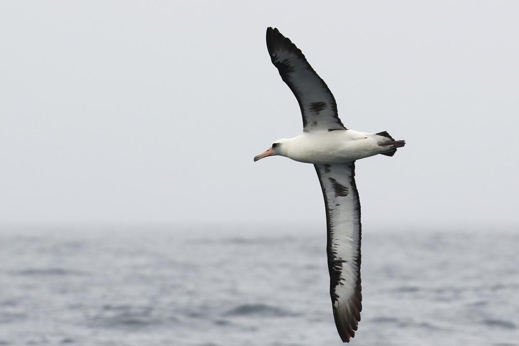 Laysan_albatross_3V2A0011