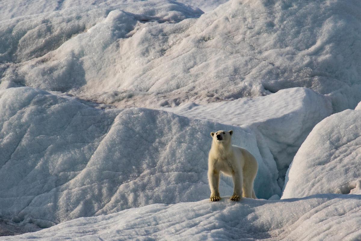 Polar_bear_3V2A1612