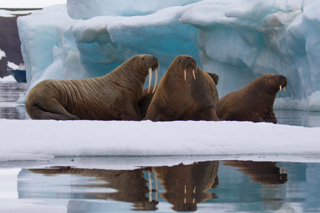 Walruses_iceflow_3V2A0970