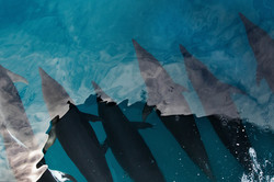 Bow_riding_dolphin_fleet