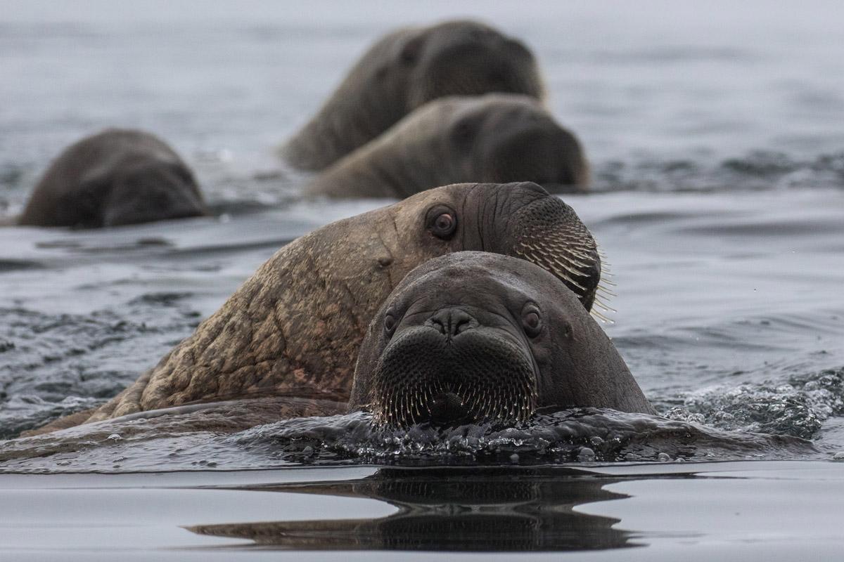 Curious_walruses_3V2A3480