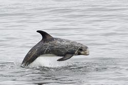 Risso's_dolphin_porpoising_135A6920