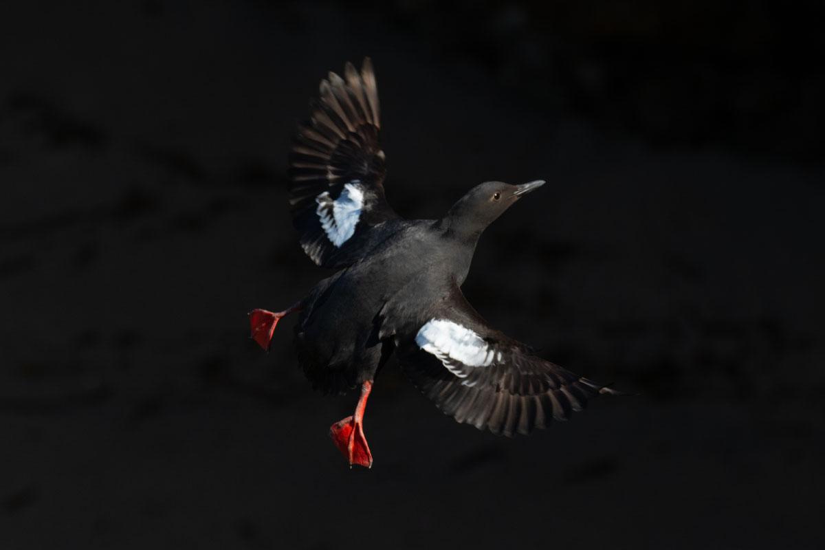 Pigeon_guillemot_3V2A5074