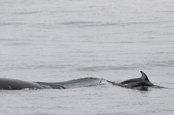 Snout_riding_PWS_dolphin