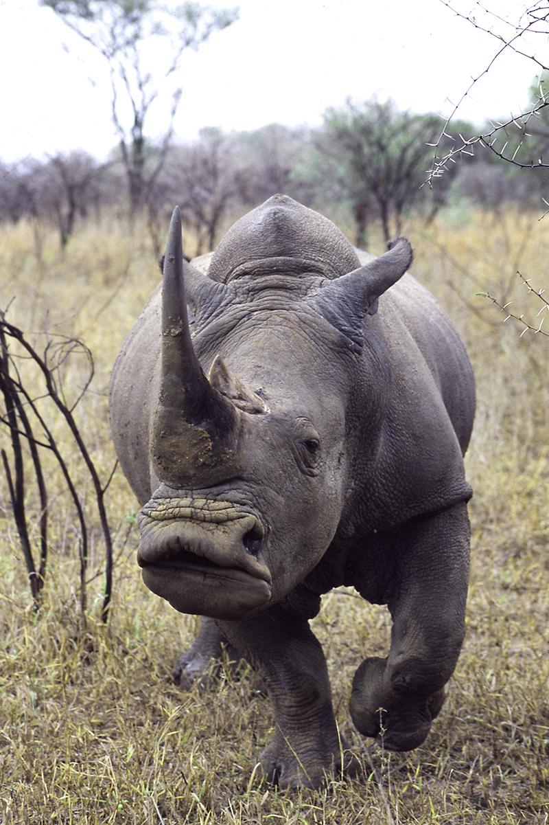 RhinoWhite-Swazi
